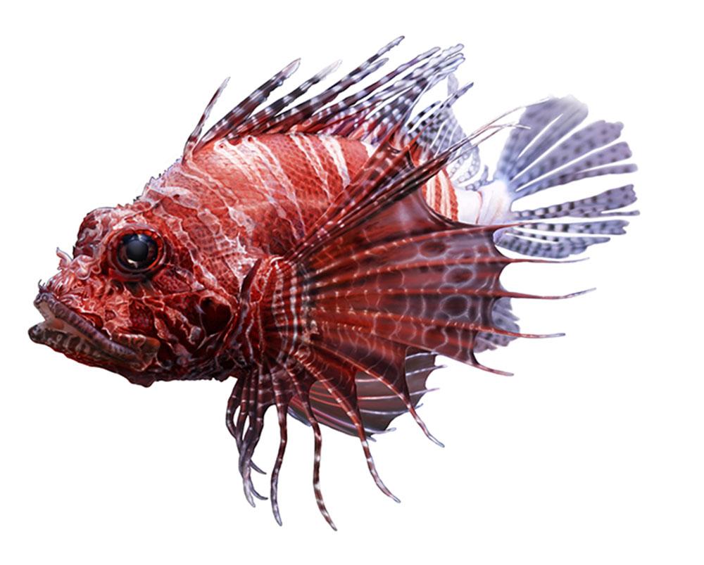 lionfish-schorpioenvis-animal-illustration-bertholet-illustrations