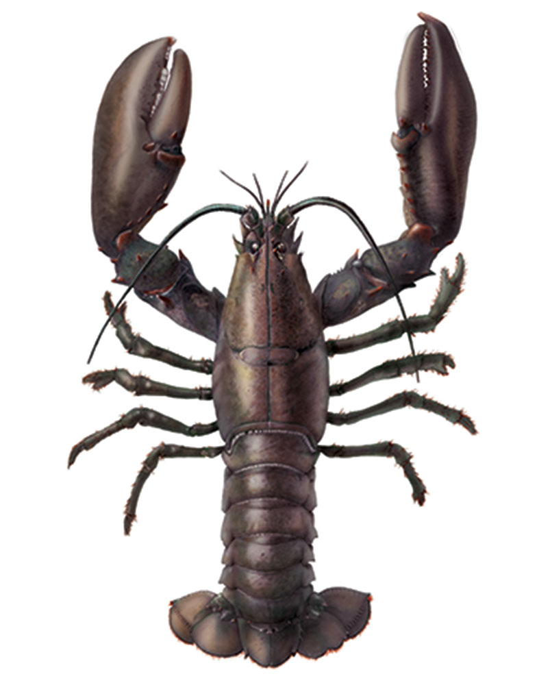 lobster-kreeft-nova-scotia-animal-illustration-bertholet-illustartions