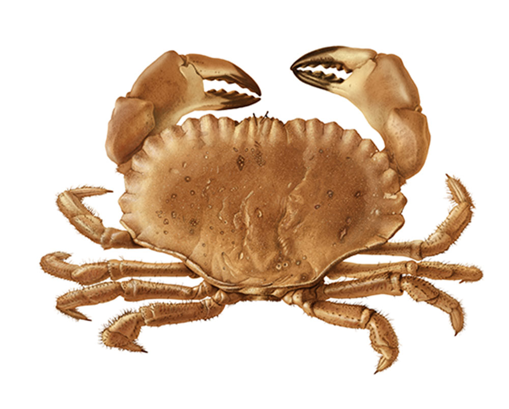 north-sea-crab-noordzee-krab-animal-illustration-bertholet-illustrations